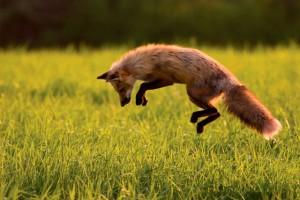 Una volpe presa al laccio in una trappola per ungulati in provincia di Frosinone si è salvata grazie al fortuito intervento di una troupe del Tg1.