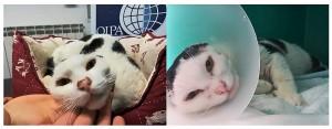 Sulla carta Artù, affetto da un tumore che ha imposto l'amputazione delle orecchie, non ha una lunga aspettativa di vita, ma è buono e tenace, e con i gatti non si sa mai. L'Oipa di Roma cerca per lui un'adozione speciale.