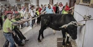 Un toro torturato a morte durante una delle barbariche feste religiose spagnole. (Immagine tratta dal documentario Santa fiesta di M.A.Rolland)