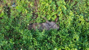 Uno dei tanti corpi felini ritrovati nei pressi dell'abitazione del disabile mentale di Palestrina ricoverato per un tso il 10 giugno scorso. Già alla fine di febbraio con una segnalazione alla Procura di Tivoli era stato chiesto di sottrargli i 50 gatti che deteneva reclusi in condizioni raccapriccianti.