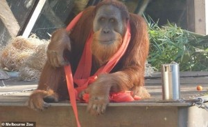 Malu, orangutan di Sumatra, ha 16 anni e vive nello zoo di Melbourne donde ha tentato la fuga due volte - benché sia considerata una struttura virtuosa.