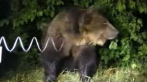 Poche e non convincenti immagini di M49 al Casteller, incredibile ricostruzione della sua fuga: troppe ombre sulla sorte dell'orso