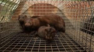 Nel 2015 una video indagine di Essere Animali, seguita da una denuncia alla Procura della Repubblica di Venezia, portò alla luce terribili abusi inflitti a visoni detenuti e uccisi presso un allevamento da pelliccia a Fiesso D'Artico, di cui oggi l'organizzazione annuncia la chiusura.
