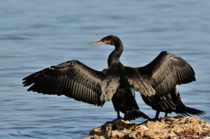 La Regione Lombardia ha deliberato di abbattere 993 cormorani perché infastidiscono la peca spotiva. E' il solito regalo ai cacciatori.