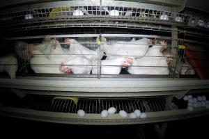 Essere Animali prosegue il suo lavoro di indagine sugli allevamenti avicoli rivelando crudeltà e mettendo in difficoltà due noti marchi del commercio delle uova.
