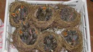 Catturati a migliaia ancora implimi nei nidi per diventare, rinchiusi a vita in gabbie minuscole, richiami vivi per la caccia in appostamento: con una grande operazione denominata pullus freedom