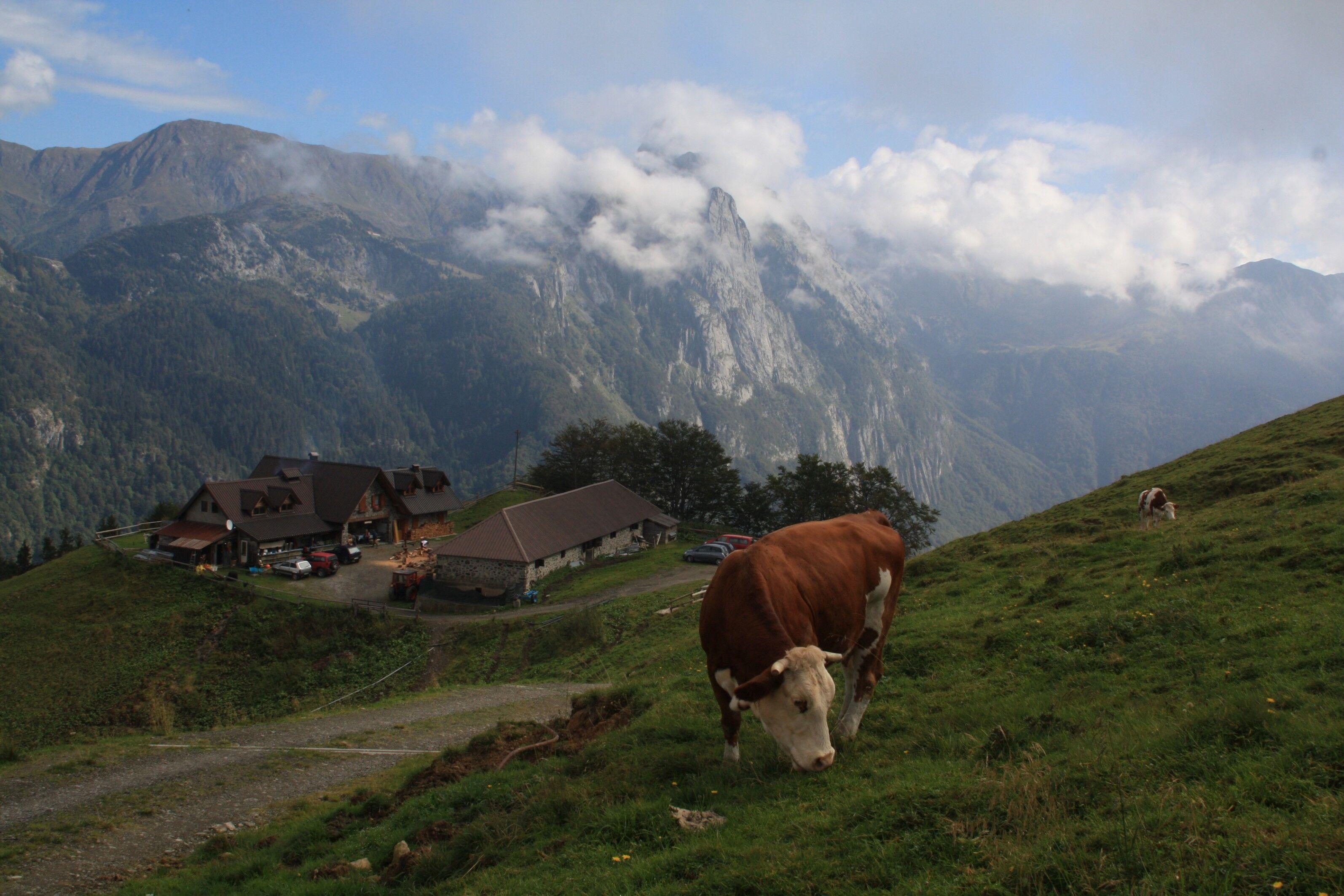 mucche al pascolo sulle Alpi Carniche