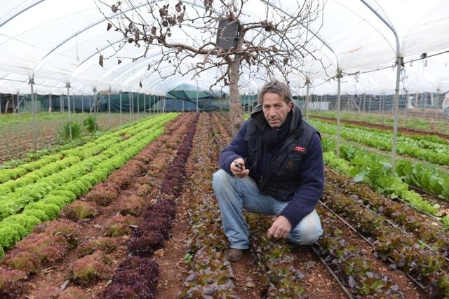 ACQUAVIVA DELLE FONTI Giovanni Frizzale nella sua serra di cipolle rosse sedano finocchi e lattughe