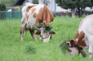 mucche enemonzo
