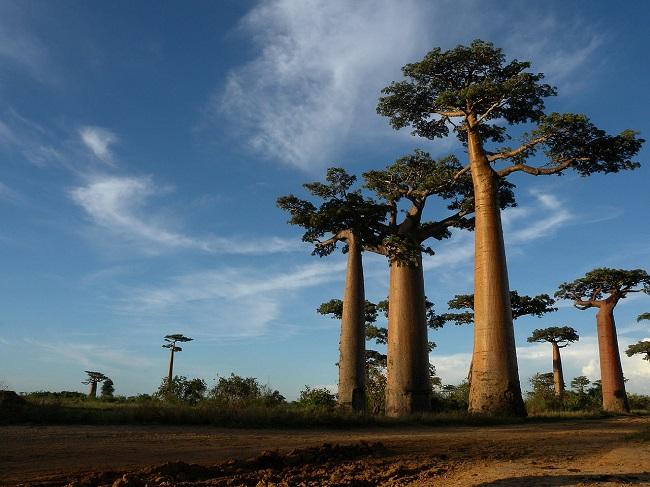 10 viale baobab madagascar