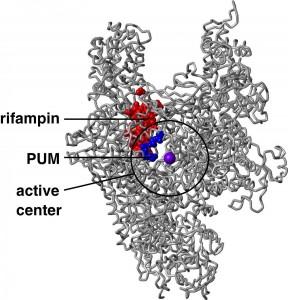 I diversi legami al bersaglio (RNA polimerasi) di rifampicina e PUM (David Degen and Richard H. Ebright (Rutgers University)