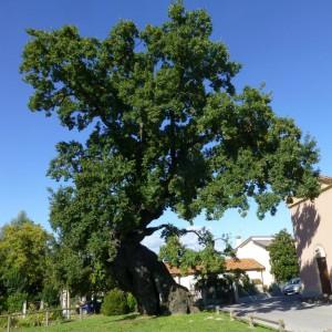 quercia fossalta1