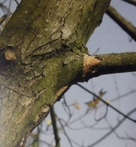 collare ramo secco