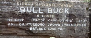bull buck1