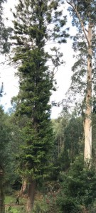 araucaria-5