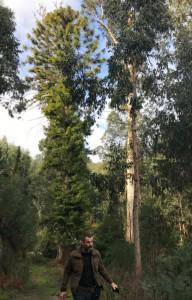 eucalipti-4