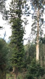 eucalipti-6