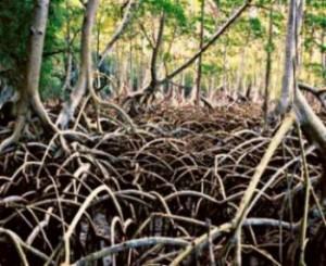 mangrovia-rossa