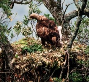 aquila nido