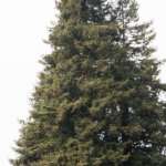 sequoia nudo 2