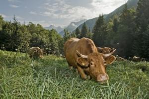 Mucche da latte al pascolo in alpeggio
