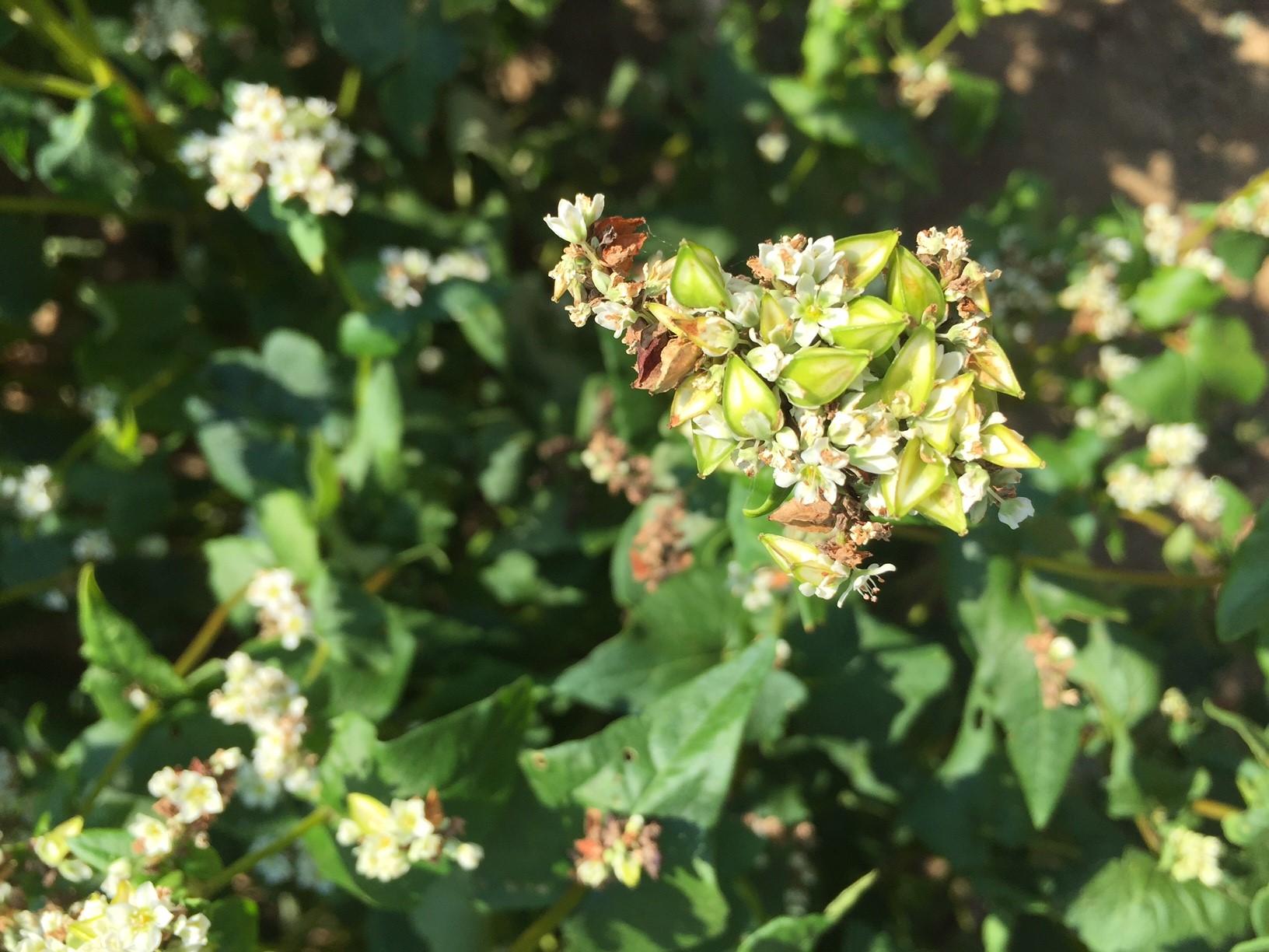 Buchweizenblüte