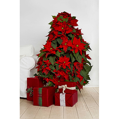 L'albero di Natale di Poinsettia è un'alternativa originale rispetto al tradizionale abete. Si potranno scegliere piante di gradazioni differenti per creare una combinazione cromatica più suggestiva