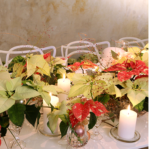 Non solo rosse, le Stelle Natale sono disponibili in diversi colori. Per un effetto più suggestivo mixate le diverse varietà di piante
