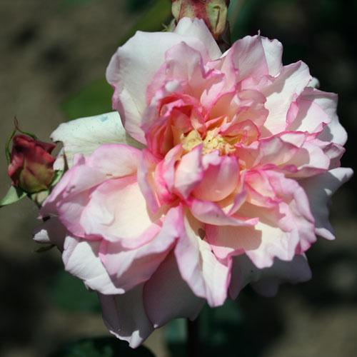 Vivaio Rose Rifiorentissime