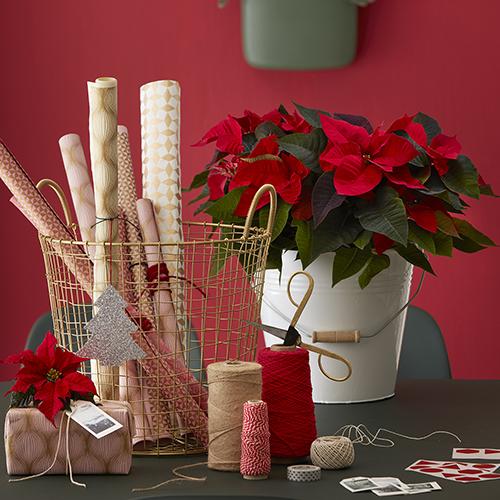 Avete mai pensato di utilizzare le Stelle di Natale per creare una confezione regalo?