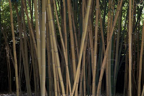 «In architettura, ma non solo, sono moltissime le potenzialità del bambù» spiega Patrizia Pozzi: «restando nel campo della progettazione dobbiamo riconoscere che è un materiale da costruzione antisismico e sostenibile». Nell'immagine i bambù del Labirinto della Masone (foto Mauro Davoli)