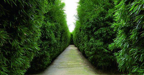 """Il Labirinto della Masone ospita """"Under the Bamboo Tree"""", due giornate dedicate a questa pianta, previste per il 13 e 14 ottobre 2018 (foto Massimo Listri)"""