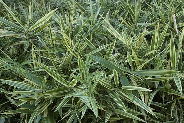 «Esistono migliaia di varietà», spiega Patrizia Pozzi: «come il gigante Phyllostachys nigra Boryana, il bambù a cespuglio Semiarundinaria Fastuosa, quello da siepe Sasa tsuboiana e il tappezzante Pleioblastus pygmaeus Distichus». Nell'immagine i bambù del Labirinto della Masone (foto Mauro Davoli)