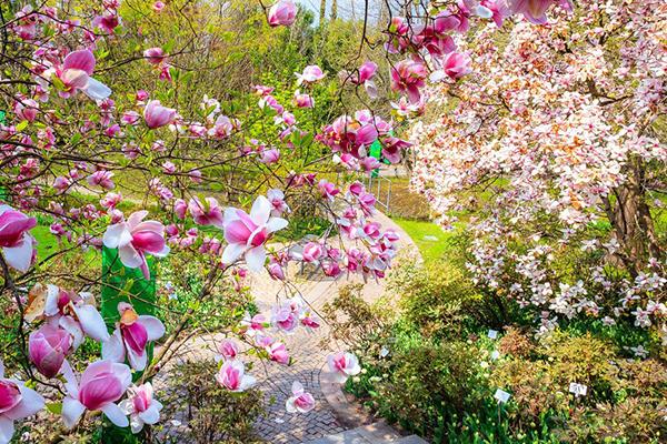Le magnolie in fiore al Castel Trauttmansdorff. Il 27 maggio è in programma Primavera ai giardini, un evento gratuito dedicato alle famiglie che prevede diverse attività in cui sarà possibile vedere, ascoltare, annusare e capire i segreti del mondo delle piante