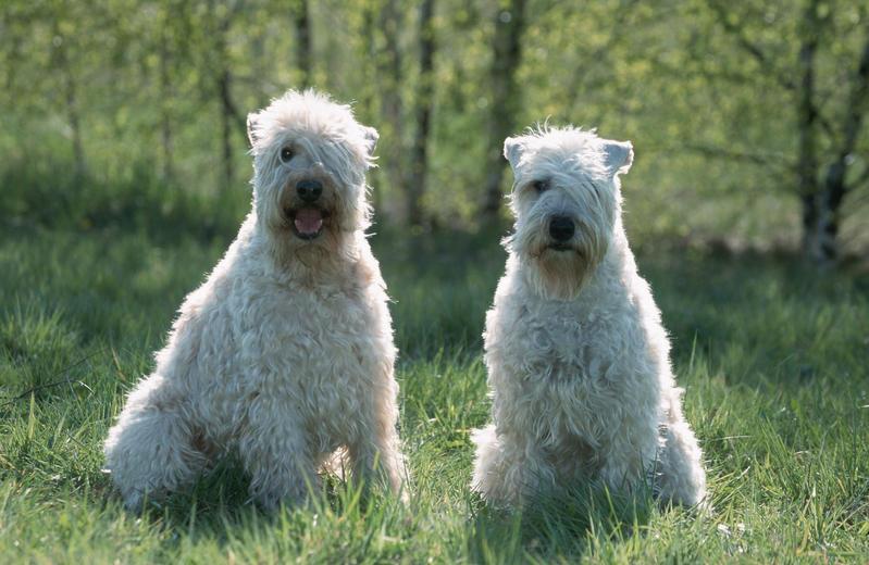 "140 razze di cani in ordine di ""intelligenza""  And the"