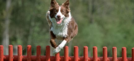 Border Collie. Arco Digital Images / AGF