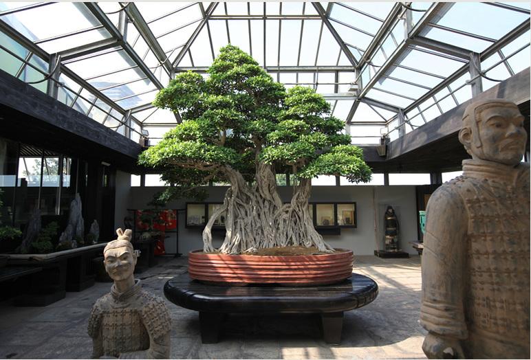 Ficus_linn