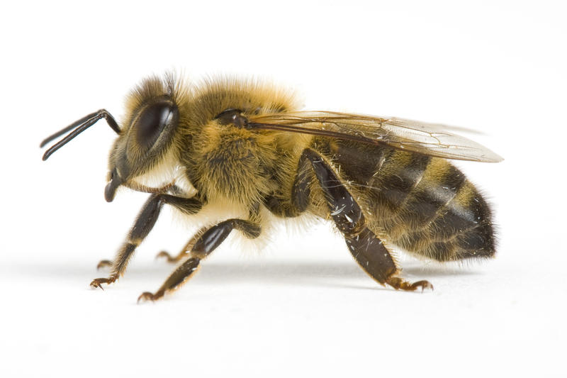Un'ape comune (Apis Mellifera). AGF