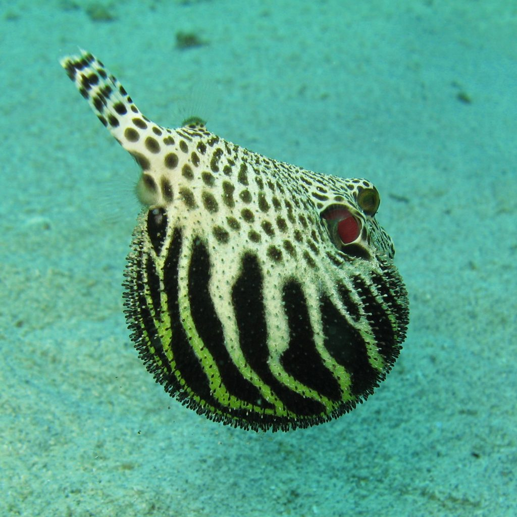 The toxic puffer fish.