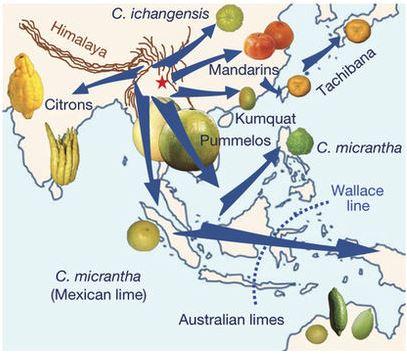 La zona di origine degli agrumi. La stella rossa indica il punto di ritrovamento del fossile di . Nature