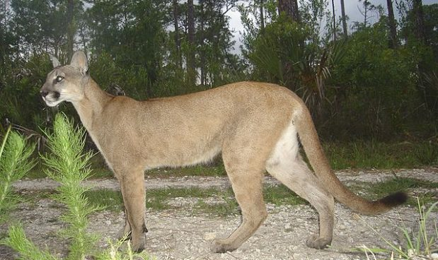 puma animal wikipedia