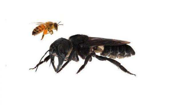 L'ape gigante non si è estinta: trovata in Indonesia dopo decenni