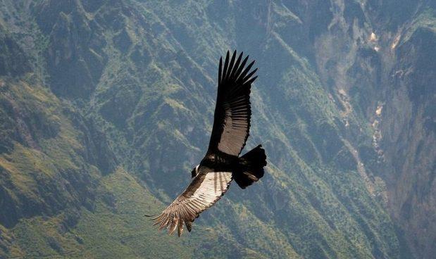 Il condor andino, l'uccello più grande del mondo, è in grado di volare per 160 km con un solo battito di ali