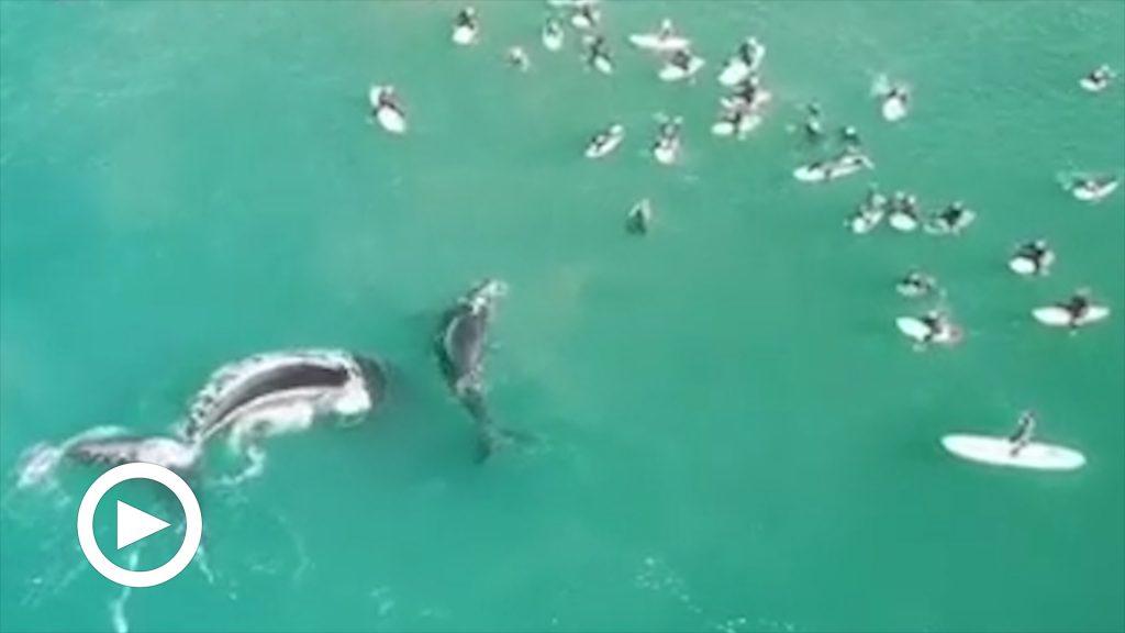 """Australia: i surfisti si avvicinano troppo, mamma balena protegge il """"piccolo"""" a colpi di coda"""