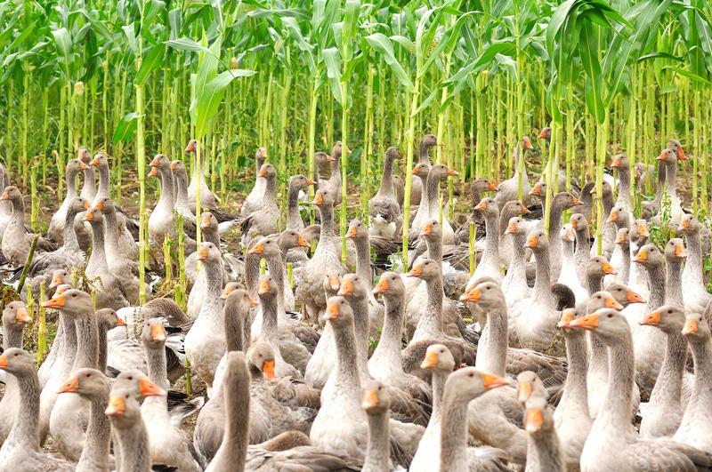 UK si prepara a bandire il foie gras?