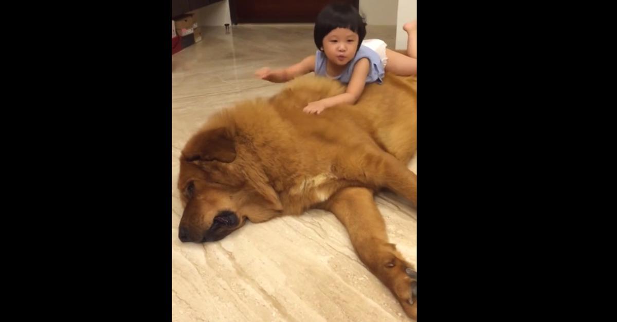 ADORABILE! La bimba gioca con il suo cane gigante
