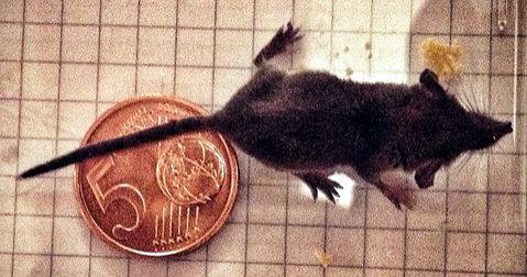 Ecco a voi il mustiolo, il roditore peso piuma più temibile del web