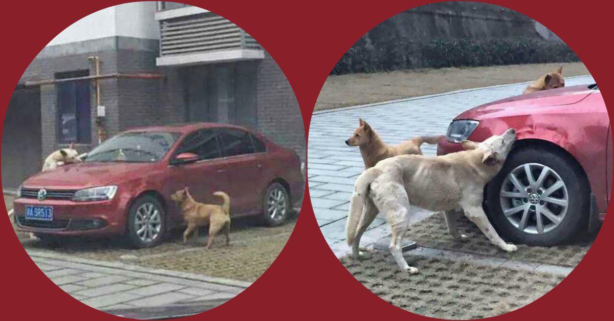 Cina: cacciato a calci da un parcheggio, il cane torna con gli amici e si vendica sulla macchina