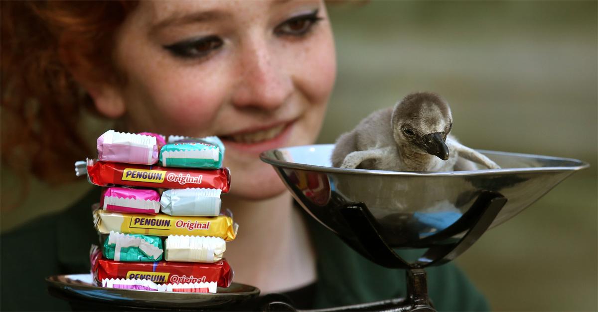 Regno Unito, il cucciolo di pinguino che pesa come 14 biscotti