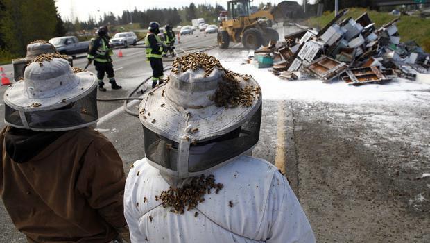 Seattle, milioni di api minacciano gli automobilisti in strada